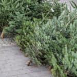 live Christmas trees lined up on sidewalk