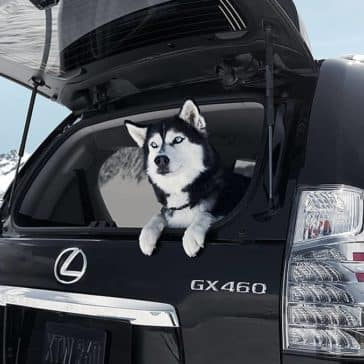2019 Lexus GX With Dog